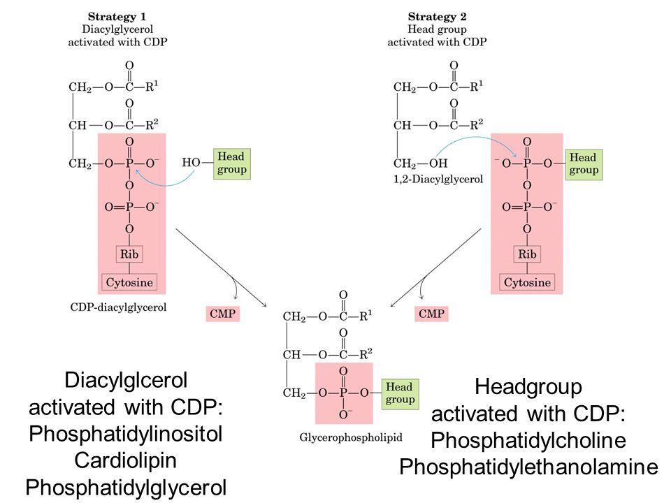 Diacylglcerol activated with CDP: Phosphatidylinositol Cardiolipin Phosphatidylglycerol Headgroup activated with CDP: Phosphatidylcholine Phosphatidyl
