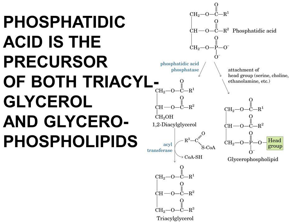 PHOSPHATIDIC ACID IS THE PRECURSOR OF BOTH TRIACYL- GLYCEROL AND GLYCERO- PHOSPHOLIPIDS