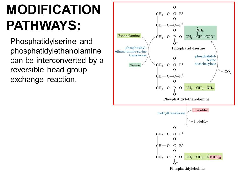 Phosphatidylserine and phosphatidylethanolamine can be interconverted by a reversible head group exchange reaction. MODIFICATION PATHWAYS: