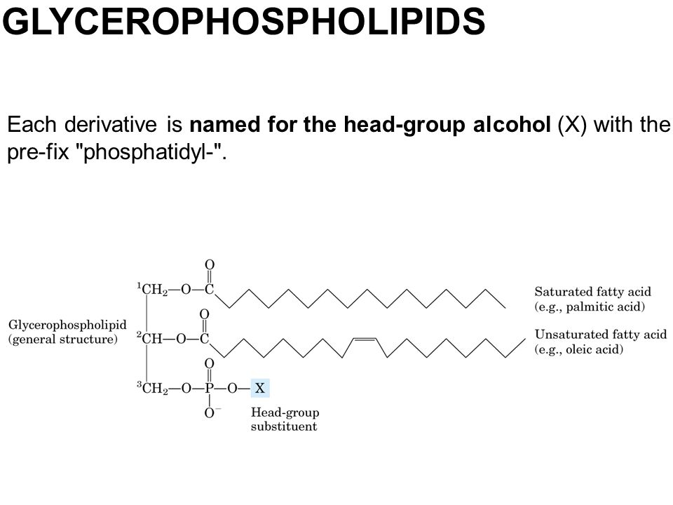 GLYCEROPHOSPHOLIPIDS Each derivative is named for the head-group alcohol (X) with the pre-fix