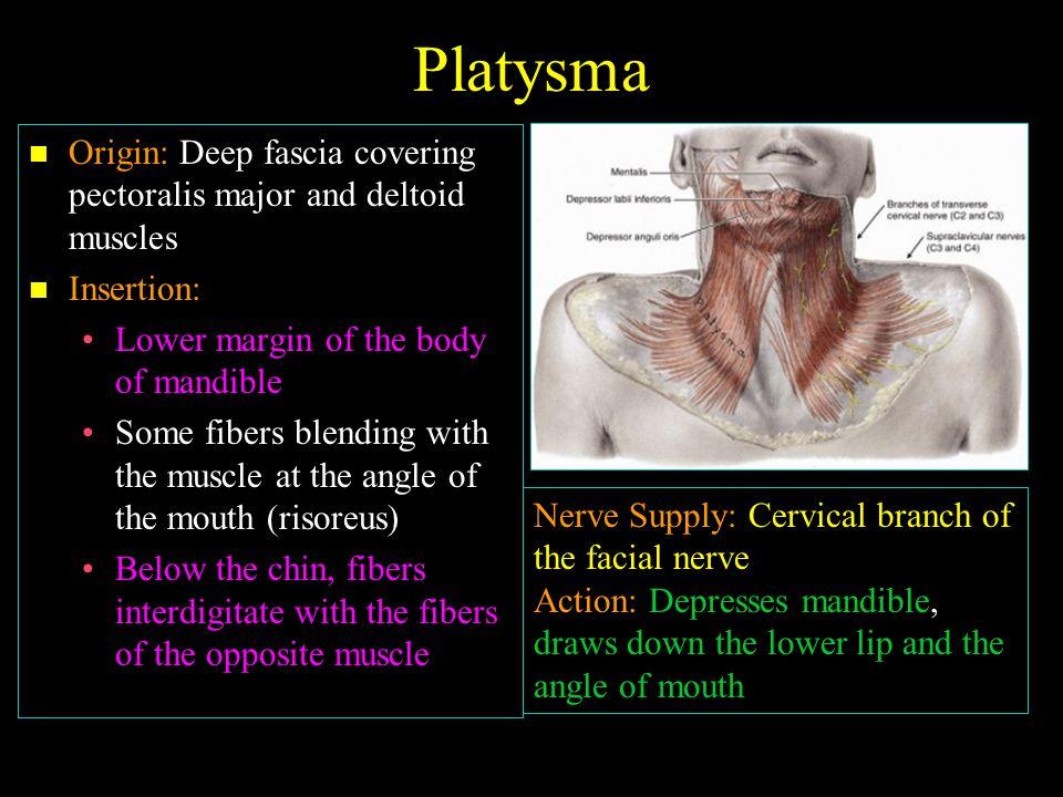 Nerves: Nerves:  Branches of cervical plexus  Spinal part of accessory nerve  Brachial plexus