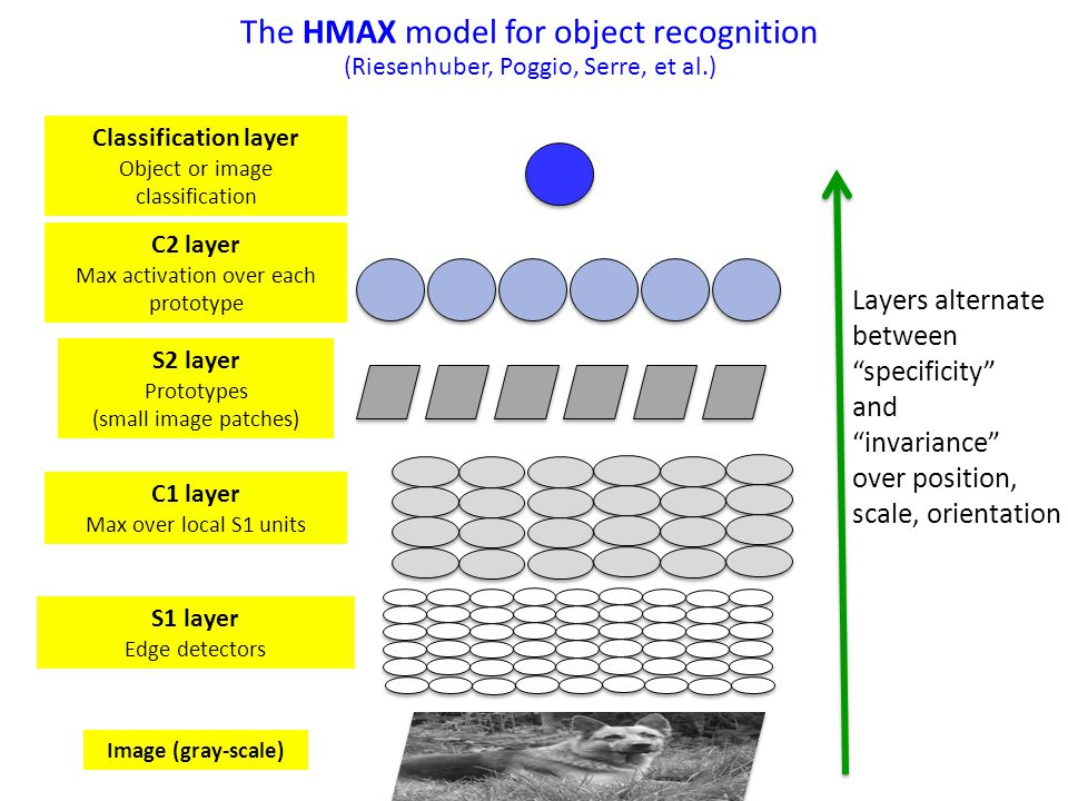 S1 layer Edge detectors The HMAX model for object recognition (Riesenhuber, Poggio, Serre, et al.) Image (gray-scale) C1 layer Max over local S1 units