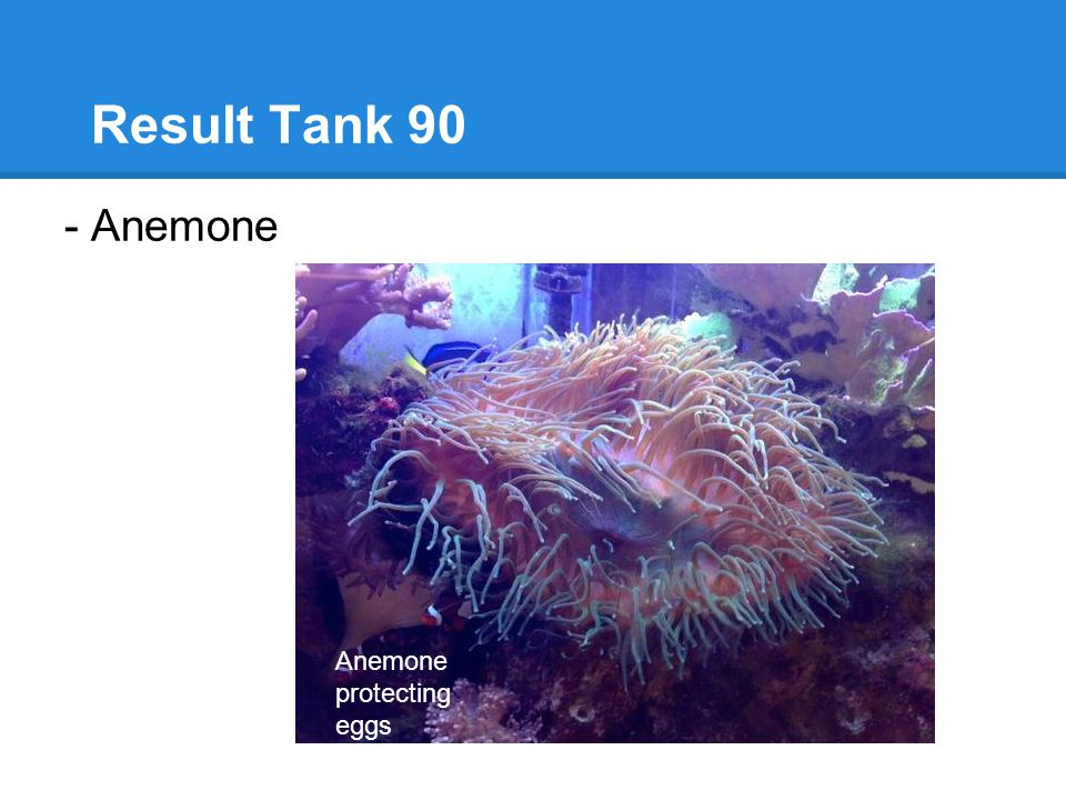 Result Tank 90 - Anemone Anemone protecting eggs