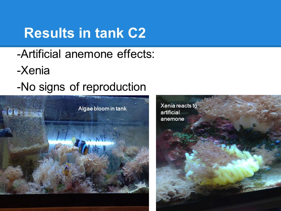 Results in tank C2 -Artificial anemone effects: -Xenia -No signs of reproduction Algae bloom in tank Xenia reacts to artificial anemone