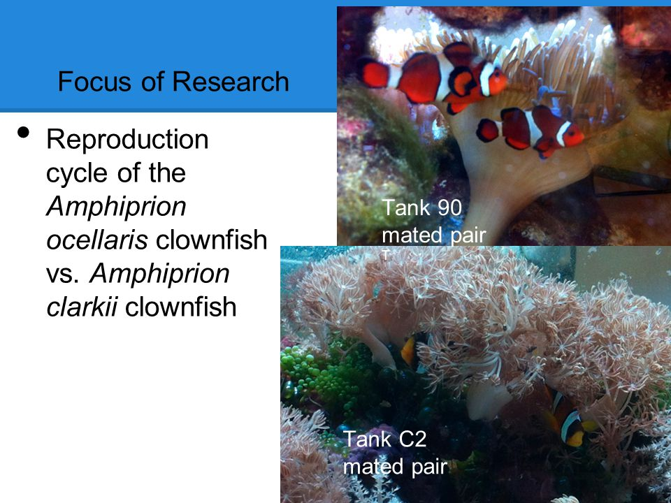 Focus of Research Reproduction cycle of the Amphiprion ocellaris clownfish vs.