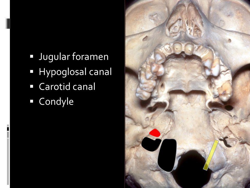 Jugular foramen  Hypoglosal canal  Carotid canal  Condyle