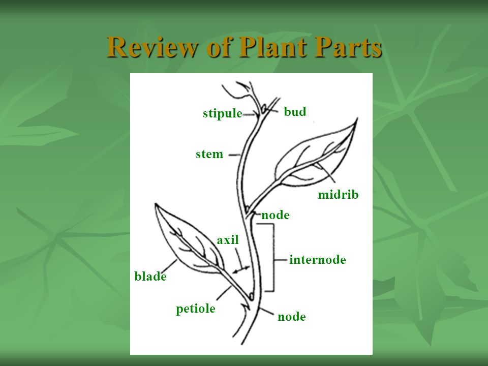 Review of Plant Parts bud stipule stem midrib blade axil node internode petiole node