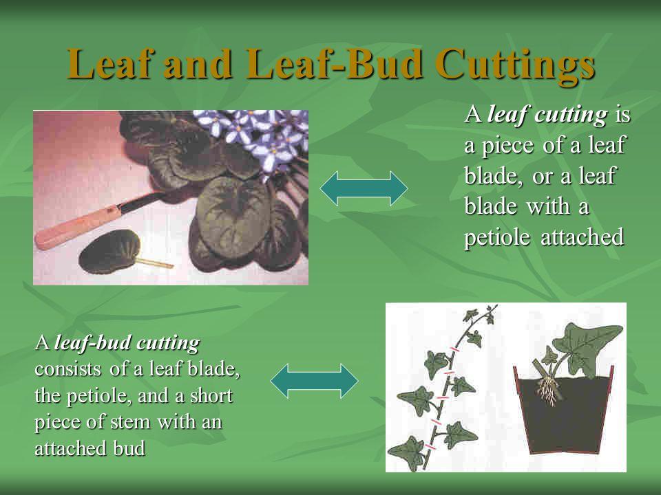 Leaf and Leaf-Bud Cuttings A leaf cutting is a piece of a leaf blade, or a leaf blade with a petiole attached A leaf-bud cutting consists of a leaf blade, the petiole, and a short piece of stem with an attached bud