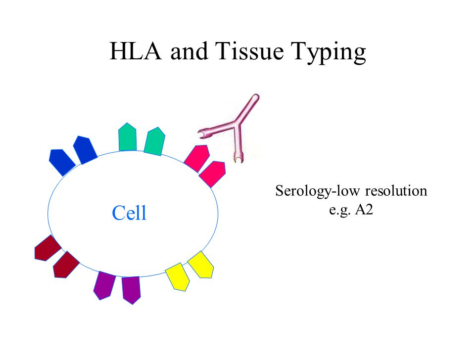 HLA and Tissue Typing Cell Serology-low resolution e.g. A2