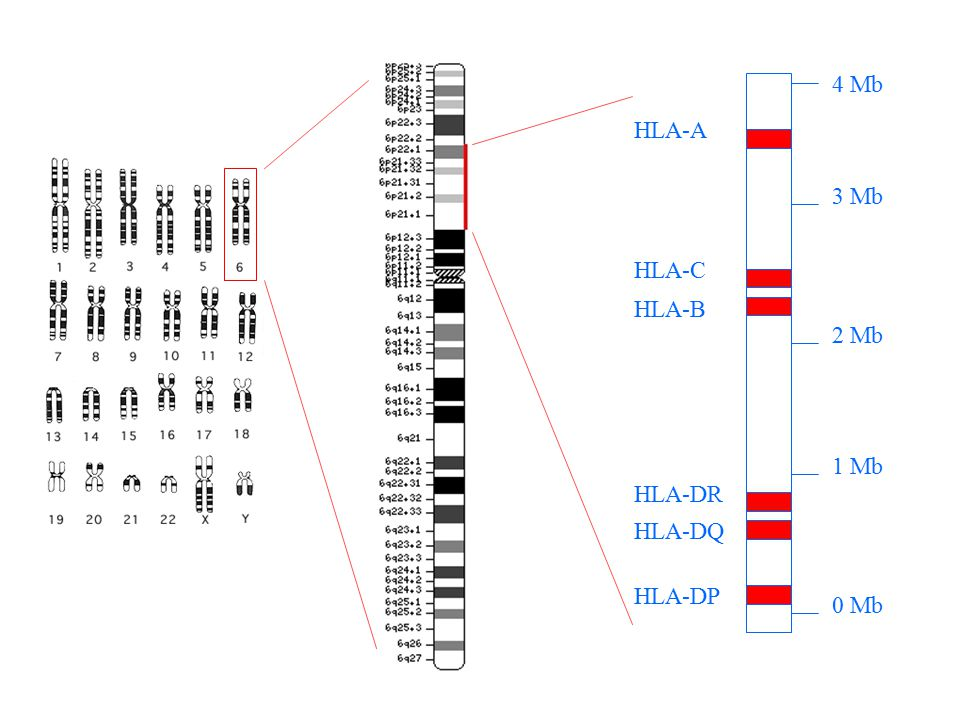 Example 1: Data entry Patient: –A*0101, B*0801, DRB1*0301 Donor: –A1, B8, DRB1 03: Antigenic match for A, B, DRB1 No data can be entered for C, DQB1, DPB1 No data can be entered for allele level matching –A*0101, B*0801, DRB1*0301: Allelic and antigenic match for A, B, DRB1 No data can be entered for C, DQB1, DPB1