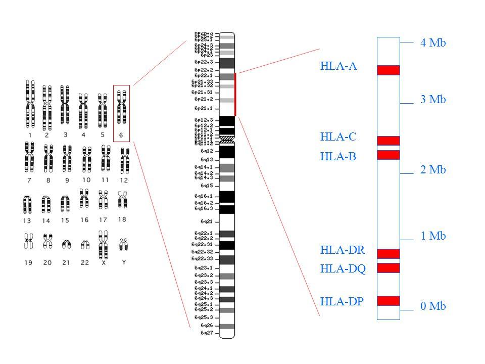 The HLA Family A1A2 Cw7Cw5 B8B44