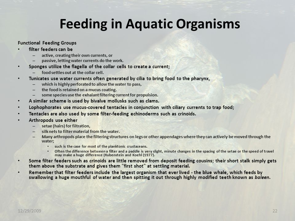 Feeding in Aquatic Organisms Functional Feeding Groups filter feeders can be – active, creating their own currents, or – passive, letting water currents do the work.
