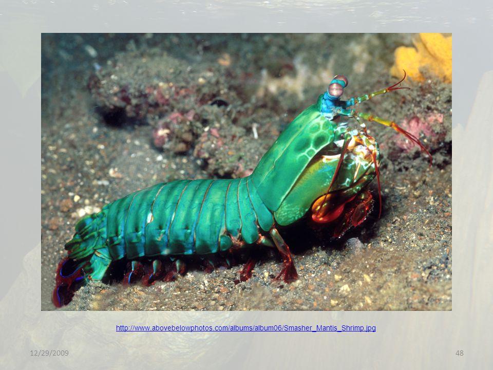 12/29/200948 http://www.abovebelowphotos.com/albums/album06/Smasher_Mantis_Shrimp.jpg