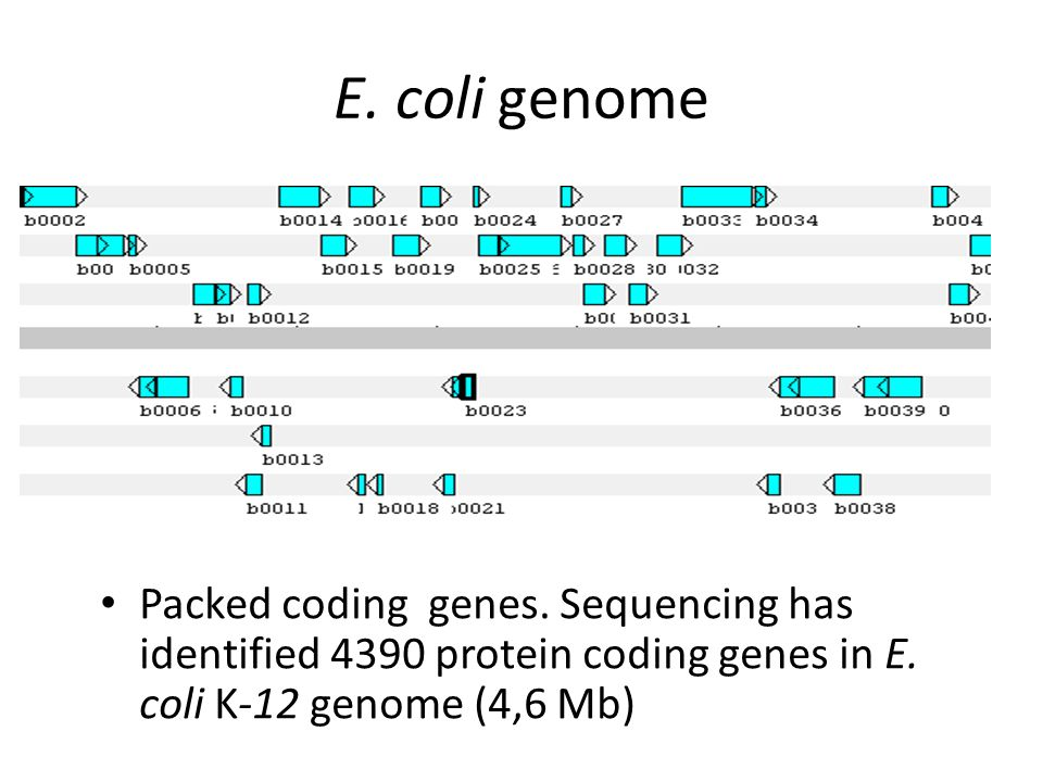 E. coli genome Packed coding genes. Sequencing has identified 4390 protein coding genes in E.