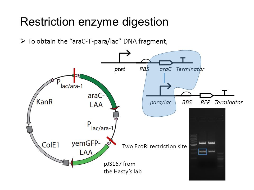  To obtain the araC-T-para/lac DNA fragment, Restriction enzyme digestion ptet RBS araC Terminator para/lac RBS RFP Terminator pJS167 from the Hasty's lab Two EcoRI restriction site