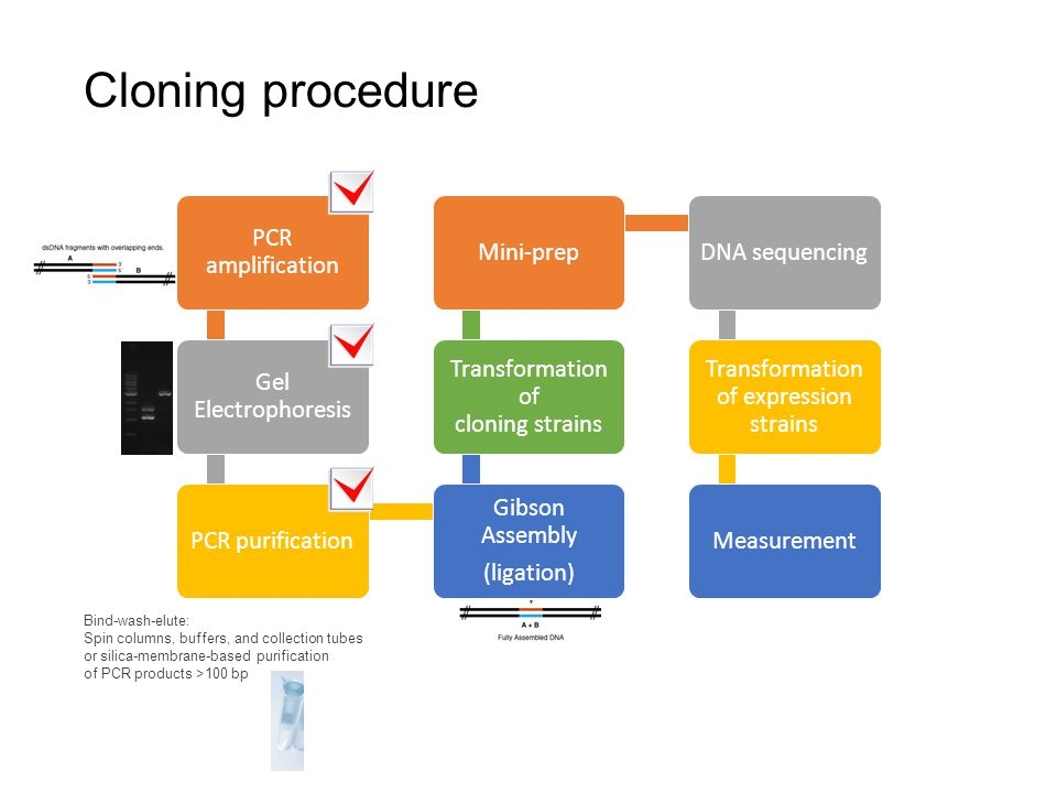 Cloning procedure PCR amplification Gel Electrophoresis PCR purification Gibson Assembly (ligation) Transformation of cloning strains Mini-prepDNA seq