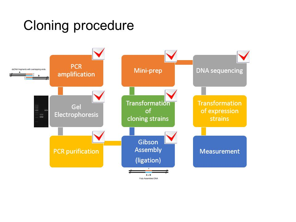 Cloning procedure PCR amplification Gel Electrophoresis PCR purification Gibson Assembly (ligation) Transformation of cloning strains Mini-prepDNA sequencing Transformation of expression strains Measurement