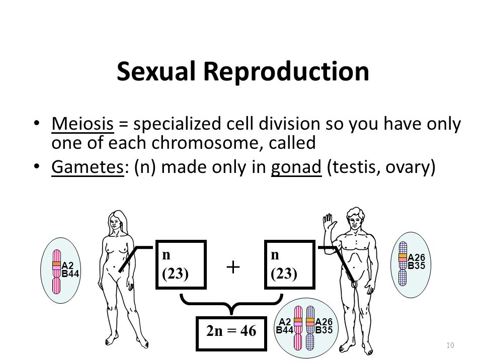 Sexual Reproduction Meiosis = specialized cell division so you have only one of each chromosome, called Gametes: (n) made only in gonad (testis, ovary) 10 + 2n = 46 n (23) B44 A2 B35 A26 B35 A26 A2 B44