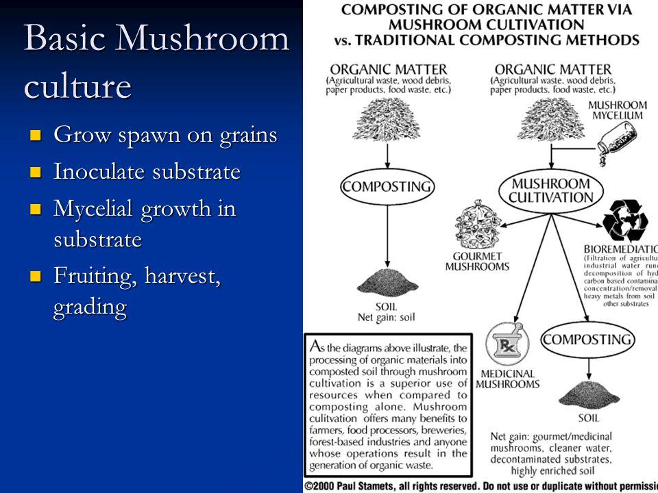 Basic Mushroom culture Grow spawn on grains Grow spawn on grains Inoculate substrate Inoculate substrate Mycelial growth in substrate Mycelial growth
