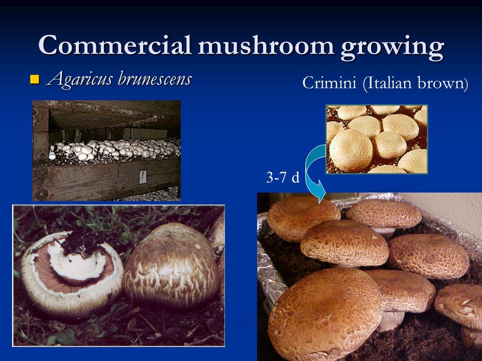 Commercial mushroom growing Agaricus brunescens Agaricus brunescens 3-7 d Crimini (Italian brown )