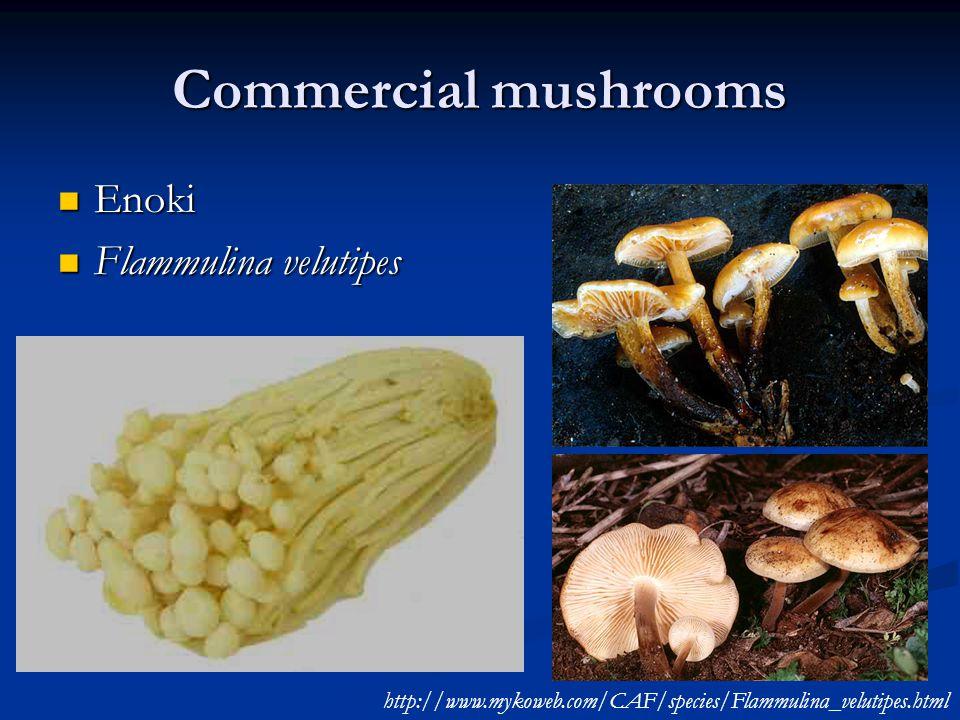 Commercial mushrooms Enoki Enoki Flammulina velutipes Flammulina velutipes http://www.mykoweb.com/CAF/species/Flammulina_velutipes.html