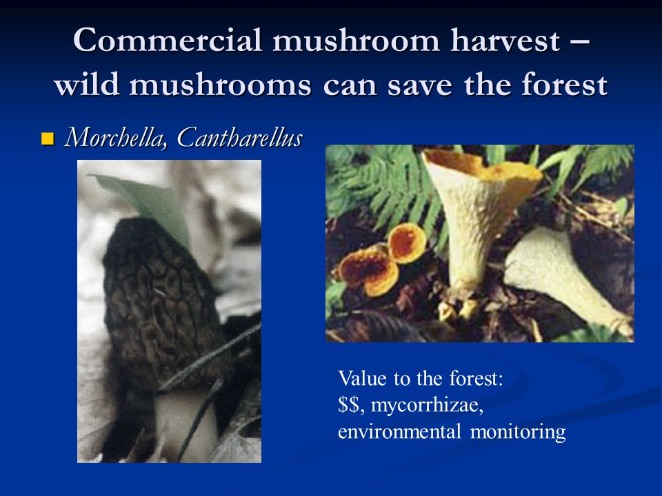 Commercial mushroom harvest – wild mushrooms can save the forest Morchella, Cantharellus Morchella, Cantharellus Value to the forest: $$, mycorrhizae, environmental monitoring