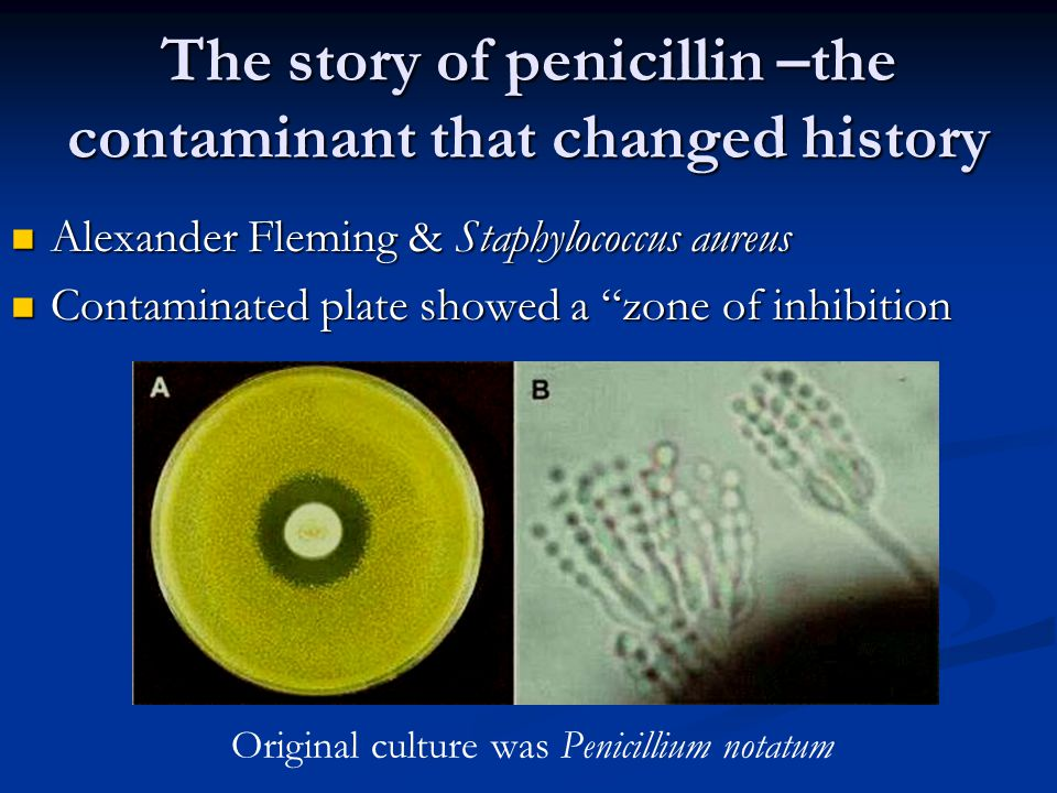 The story of penicillin –the contaminant that changed history Alexander Fleming & Staphylococcus aureus Alexander Fleming & Staphylococcus aureus Cont