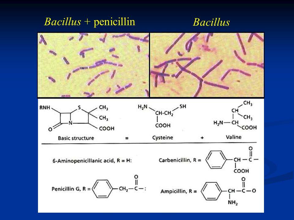 Bacillus + penicillin Bacillus