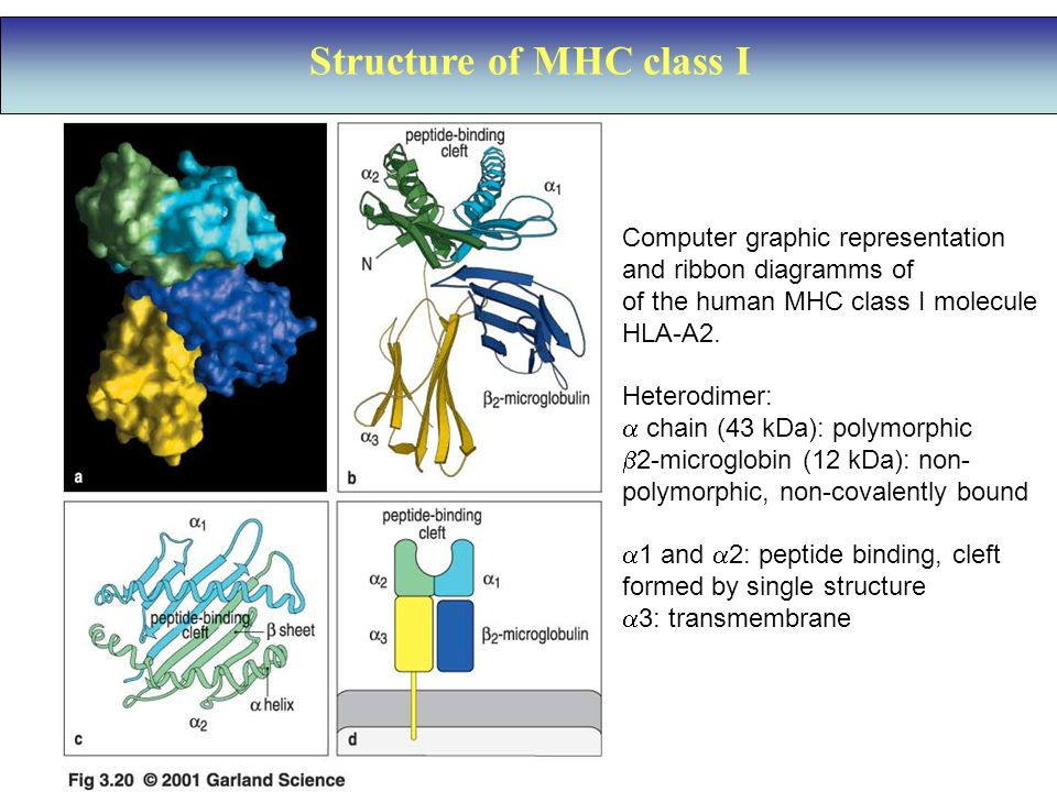 Structure of MHC class I Computer graphic representation and ribbon diagramms of of the human MHC class I molecule HLA-A2.