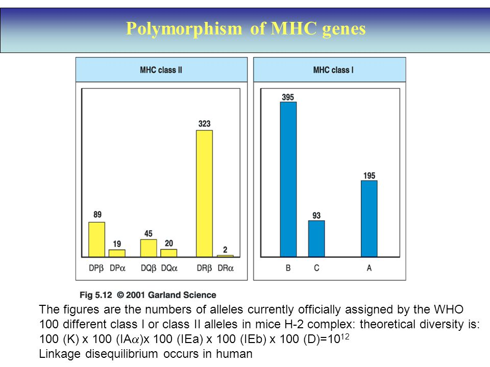 Polymorphism of MHC genes The figures are the numbers of alleles currently officially assigned by the WHO 100 different class I or class II alleles in mice H-2 complex: theoretical diversity is: 100 (K) x 100 (IA  )x 100 (IEa) x 100 (IEb) x 100 (D)=10 12 Linkage disequilibrium occurs in human