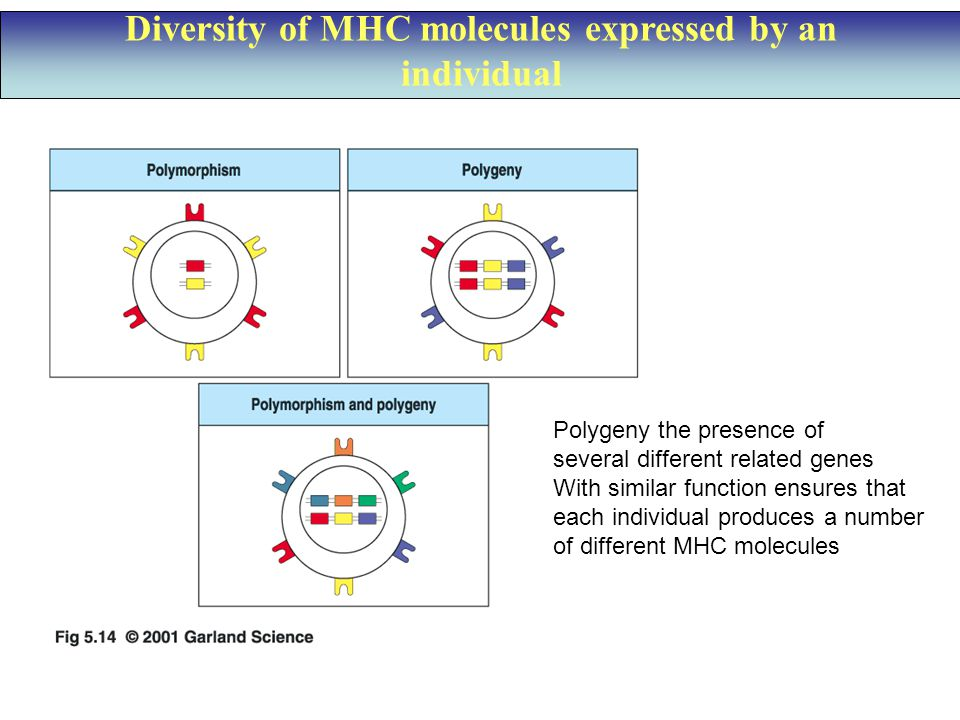 Diversity of MHC molecules expressed by an individual Polygeny the presence of several different related genes With similar function ensures that each individual produces a number of different MHC molecules