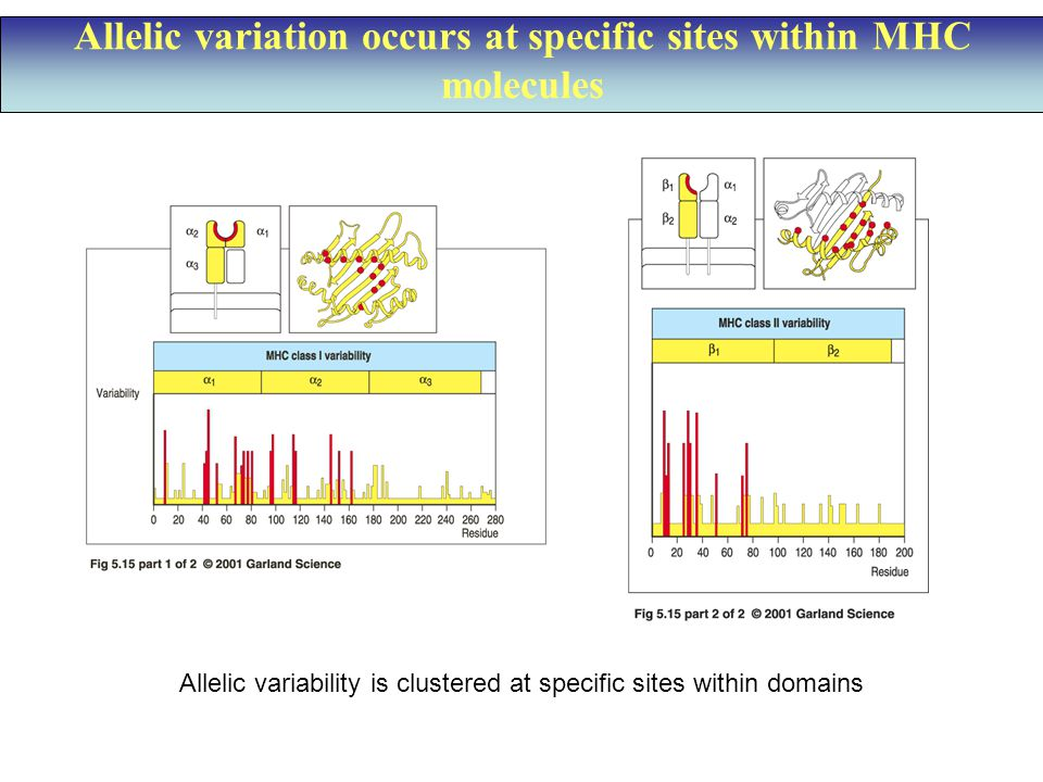 Allelic variation occurs at specific sites within MHC molecules Allelic variability is clustered at specific sites within domains