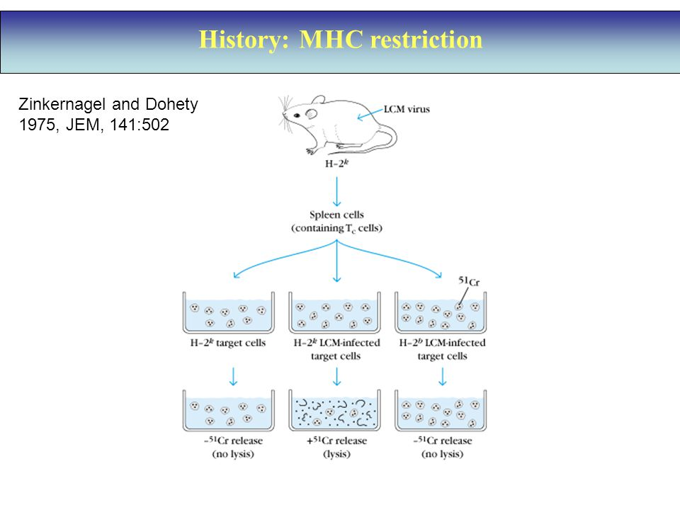 History: MHC restriction Zinkernagel and Dohety 1975, JEM, 141:502