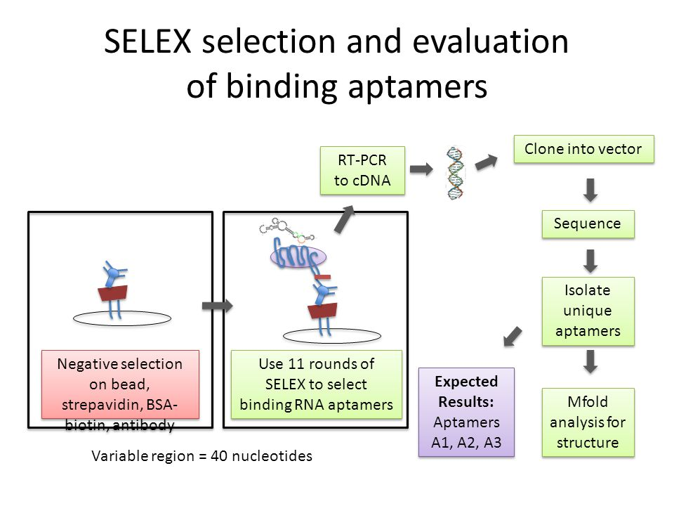 SELEX selection and evaluation of binding aptamers Use 11 rounds of SELEX to select binding RNA aptamers RT-PCR to cDNA RT-PCR to cDNA Clone into vect