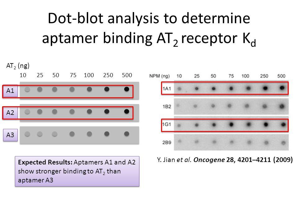 Dot-blot analysis to determine aptamer binding AT 2 receptor K d A1 A2 A3 10 25 50 75 100 250 500 AT 2 (ng) Y. Jian et al. Oncogene 28, 4201–4211 (200