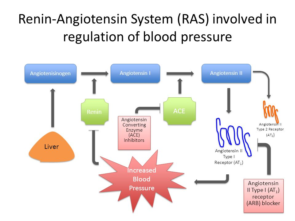 ARB drugs inhibit AT 1 receptors and decrease blood pressure Angiotensin II Angiotensin II Type I (AT 1 ) Receptor ARB Increased Blood Pressure Angiotensin II Type 2 Receptor (AT 2 ) Angiotensin II type I (AT 1 ) receptor blocking (ARB) drugs prevent AngII from activating vascular smooth muscle cells to constrict Current ARB drugs include losartan and valsartan – Mimic the structure of angiotensin II to bind to active site of receptor Angiotensin II bound to AT 2 increases with bound ARB Bradykinin Nitric Oxide