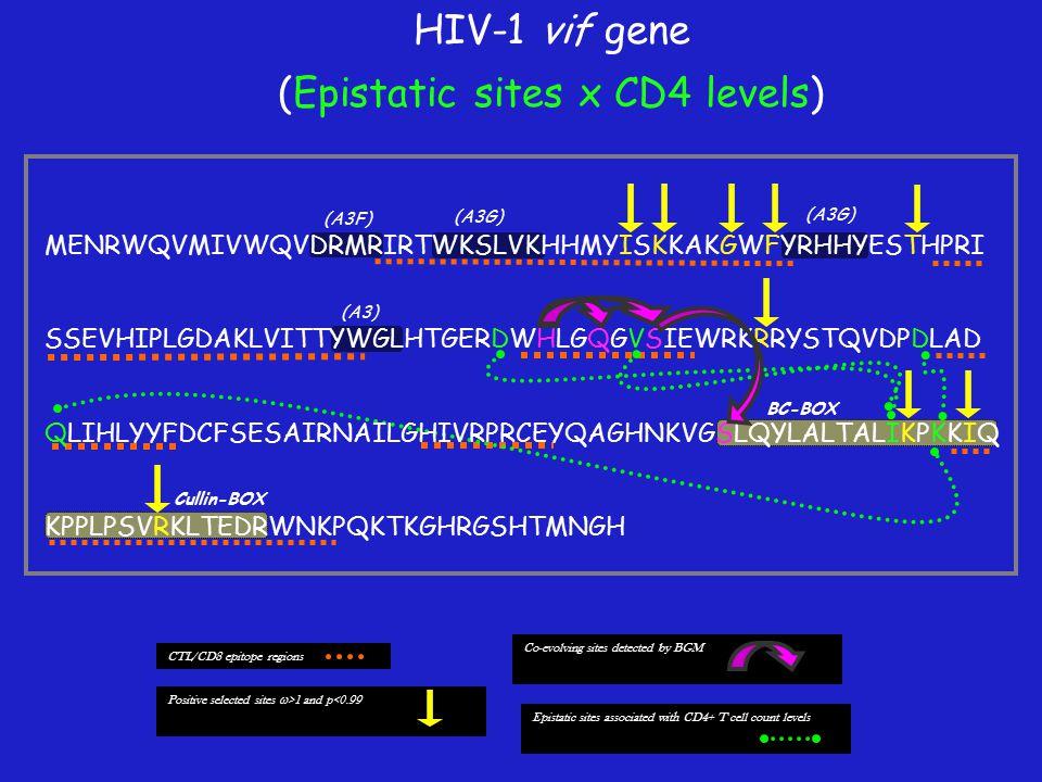 (A3F) (A3G) (A3) BC-BOX Cullin-BOX Positive selected sites  >1 and p<0.99 CTL/CD8 epitope regions Co-evolving sites detected by BGM Epistatic sites associated with CD4+ T cell count levels (A3G) MENRWQVMIVWQVDRMRIRTWKSLVKHHMYISKKAKGWFYRHHYESTHPRI SSEVHIPLGDAKLVITTYWGLHTGERDWHLGQGVSIEWRKRRYSTQVDPDLAD QLIHLYYFDCFSESAIRNAILGHIVRPRCEYQAGHNKVGSLQYLALTALIKPKKIQ KPPLPSVRKLTEDRWNKPQKTKGHRGSHTMNGH HIV-1 vif gene (Epistatic sites x CD4 levels)