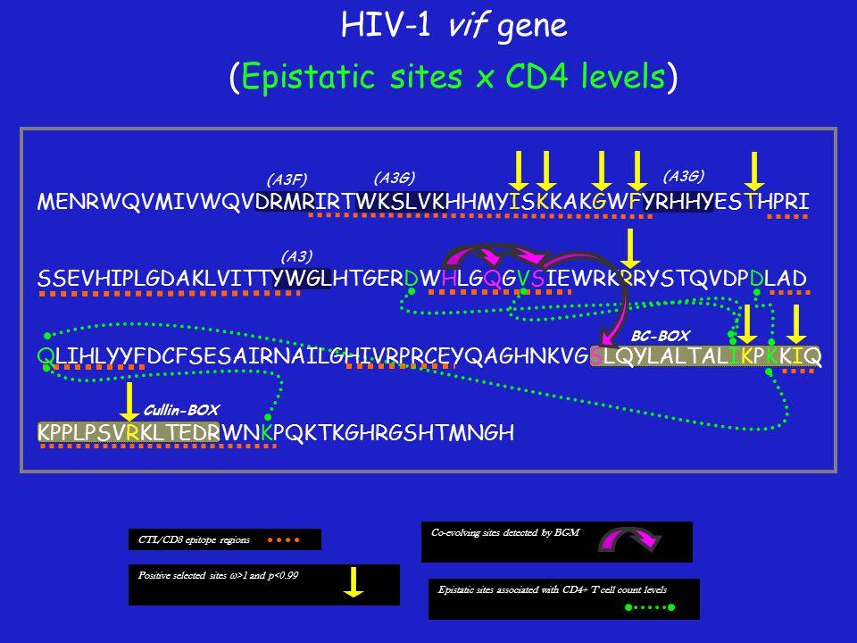 (A3F) (A3G) (A3) BC-BOX Cullin-BOX Positive selected sites  >1 and p<0.99 CTL/CD8 epitope regions Co-evolving sites detected by BGM Epistatic sites associated with CD4+ T cell count levels MENRWQVMIVWQVDRMRIRTWKSLVKHHMYISKKAKGWFYRHHYESTHPRI SSEVHIPLGDAKLVITTYWGLHTGERDWHLGQGVSIEWRKRRYSTQVDPDLAD QLIHLYYFDCFSESAIRNAILGHIVRPRCEYQAGHNKVGSLQYLALTALIKPKKIQ KPPLPSVRKLTEDRWNKPQKTKGHRGSHTMNGH (A3G) HIV-1 vif gene (Epistatic sites x CD4 levels)