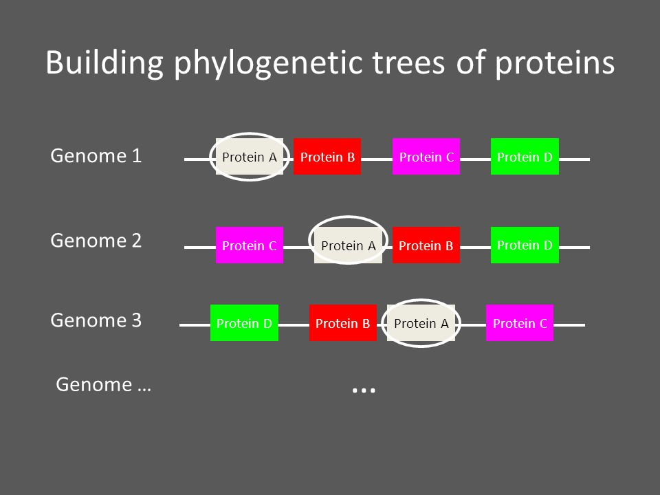 Building phylogenetic trees of proteins Genome 1 Genome 2 Genome 3 Genome … Protein AProtein BProtein CProtein D Protein AProtein BProtein C Protein D Protein A Protein BProtein C Protein D …
