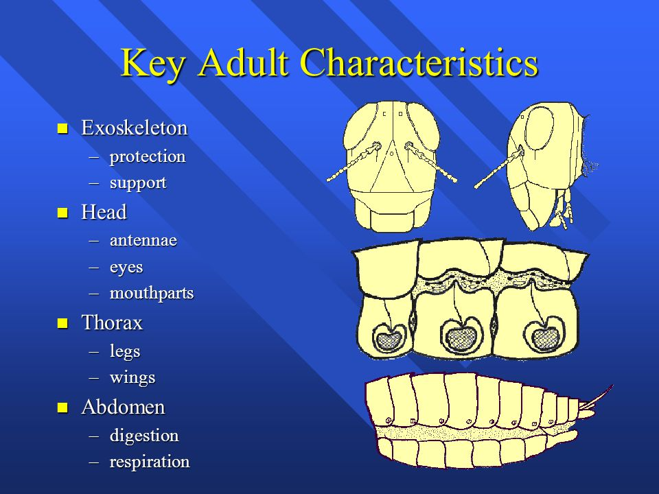 Key Adult Characteristics n Exoskeleton –protection –support n Head –antennae –eyes –mouthparts n Thorax –legs –wings n Abdomen –digestion –respiration