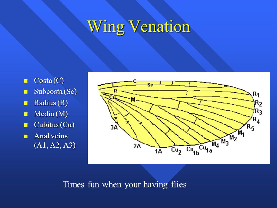 Wing Venation n Costa (C) n Subcosta (Sc) n Radius (R) n Media (M) n Cubitus (Cu) n Anal veins (A1, A2, A3) Times fun when your having flies