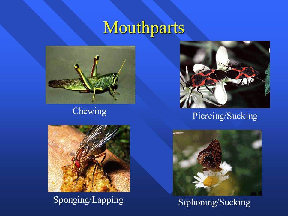 Mouthparts Chewing Piercing/Sucking Sponging/Lapping Siphoning/Sucking