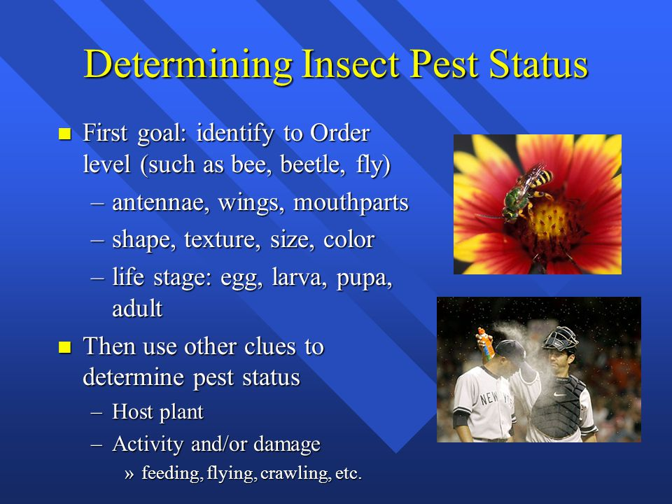 Determining Insect Pest Status n First goal: identify to Order level (such as bee, beetle, fly) –antennae, wings, mouthparts –shape, texture, size, color –life stage: egg, larva, pupa, adult n Then use other clues to determine pest status –Host plant –Activity and/or damage »feeding, flying, crawling, etc.
