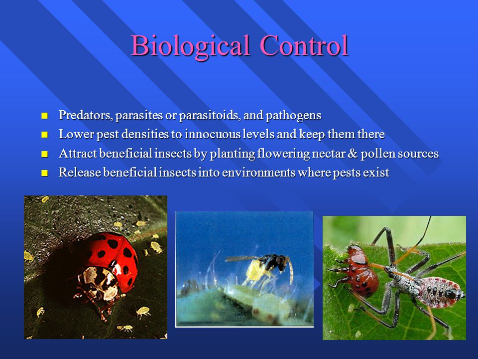 Biological Control n Predators, parasites or parasitoids, and pathogens n Lower pest densities to innocuous levels and keep them there n Attract beneficial insects by planting flowering nectar & pollen sources n Release beneficial insects into environments where pests exist