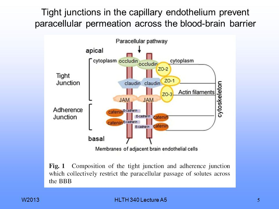 HLTH 340 Lecture A5W2013 5 Tight junctions in the capillary endothelium prevent paracellular permeation across the blood-brain barrier
