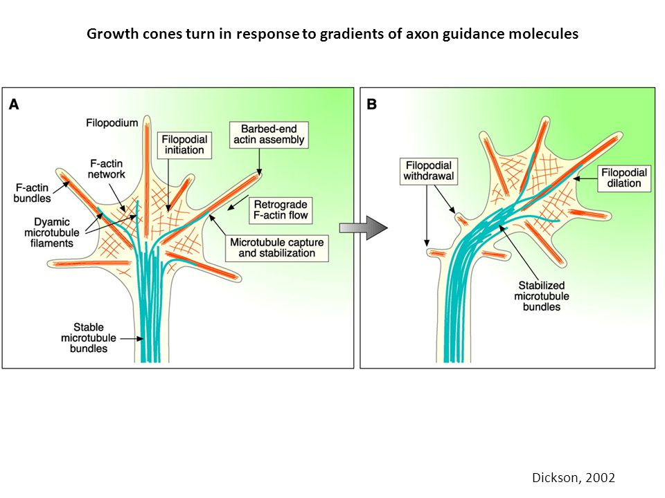 Growth cones turn in response to gradients of axon guidance molecules Dickson, 2002