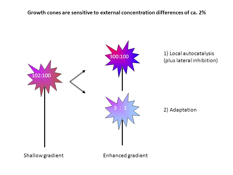 Growth cones are sensitive to external concentration differences of ca. 2% 1) Local autocatalysis (plus lateral inhibition) Shallow gradient 2) Adapta