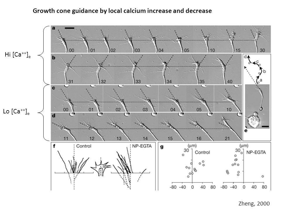 Growth cone guidance by local calcium increase and decrease Zheng, 2000 Hi [Ca ++ ] e Lo [Ca ++ ] e