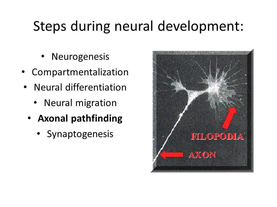 Steps during neural development: Neurogenesis Compartmentalization Neural differentiation Neural migration Axonal pathfinding Synaptogenesis