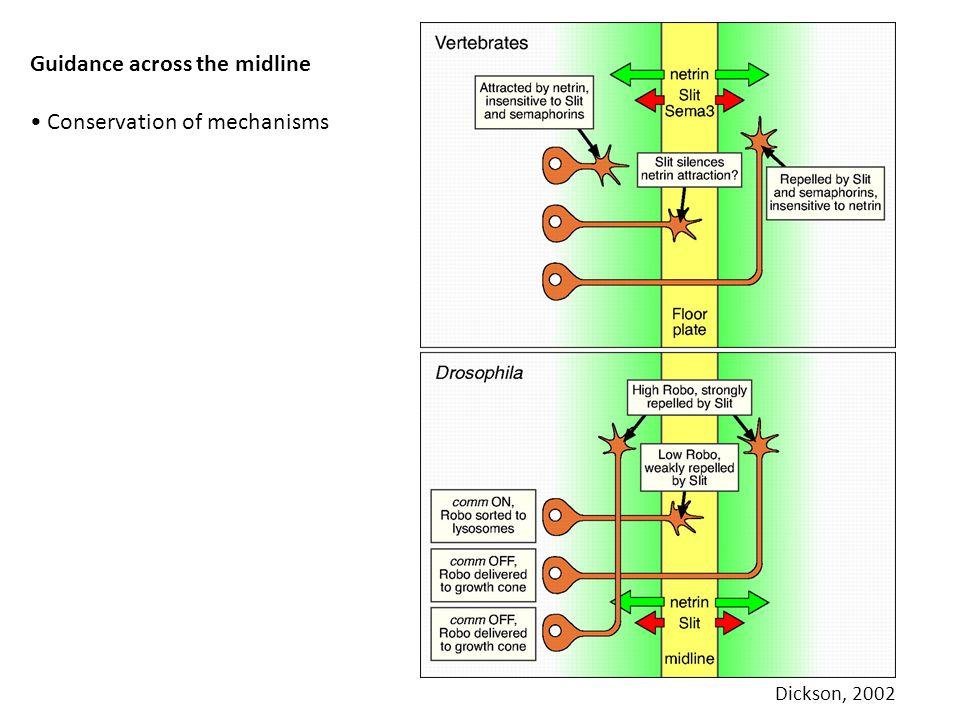 Guidance across the midline Conservation of mechanisms Dickson, 2002